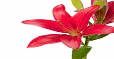 online Lilies delivery in gurgaon