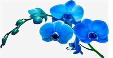 Online Orchids Delivery in Trichy